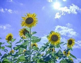 自然,風景,空,花,太陽,ひまわり,青空,景色,向日葵,草木,フォトジェニック,インスタ映え