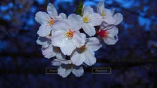 春の写真・画像素材[427116]