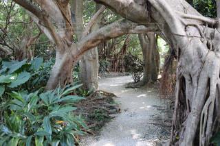 小道,樹木,道,アーチ,ガジュマル,支柱根,木のアーチ