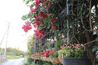 花,庭,屋外,ブーゲンビリア,ガーデン,キレイ