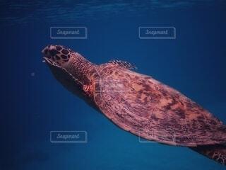沖縄,水中,カメ,ウミガメ,ダイビング,シュノーケリング,亀,水中写真,海洋生物学