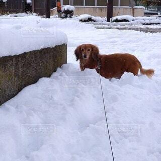 犬,動物,雪,屋外,かわいい,茶色,ペット,ミニチュアダックスフンド,犬種