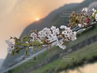 花,春,桜,夕焼け,夕暮れ,晩春,草木,ブロッサム