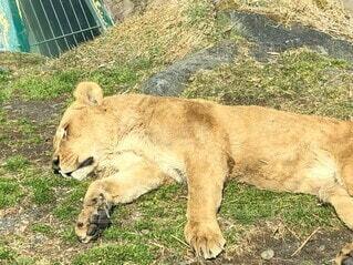 動物,屋外,草,癒し,地面,動物園,ライオン,寝