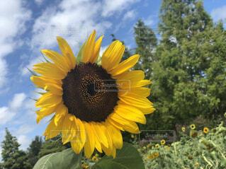 自然,空,花,屋外,植物,ひまわり,黄色,向日葵,ひまわり畑,草木,キク目