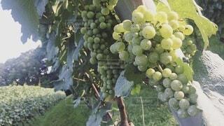 太陽の光を浴びたワイナリーの白ブドウの写真・画像素材[4026634]