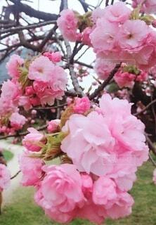 公園,花,春,桜,屋外,ピンク,バラ,サクラ,草,薔薇,八重桜,草木,4月,さくら,ブルーム,ブロッサム