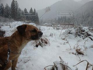 犬,冬,動物,雪,屋外,茶色,日中