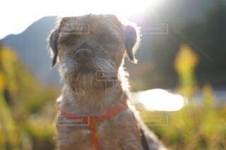 犬,動物,屋外,かわいい,テリア,ボーダーテリア
