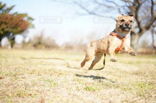 犬,動物,屋外,かわいい,景色,走る,草,ボーダーテリア