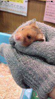動物,ハムスター,屋内,かわいい,豚,ラット,マウス,ネズミ