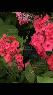 花の蜜を吸う蝶の写真・画像素材[4078530]