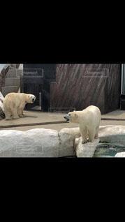 動物,動物園,ホッキョクグマ,北極熊