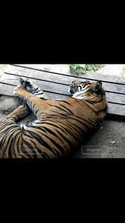 猫,動物,景色,寝る,ライオン,ネコ科,タイガー,ベンガルトラ,シベリアンタイガー