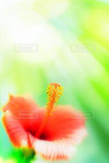 花,南国,赤,ハイビスカス,和歌山,白浜,紀伊半島