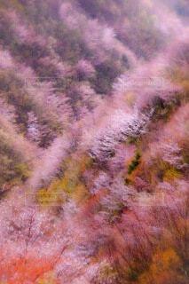 自然,風景,春,桜,ピンク,奈良,山桜,十津川村,春紅葉,紀伊半島