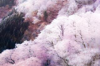 夜明けの霧氷林の写真・画像素材[4025981]