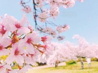 公園,花,春,屋外,樹木,草木,桜の花,さくら