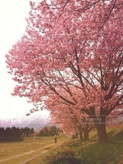 空,花,春,桜,屋外,雪山,樹木,草木,桜の花,さくら,ブロッサム
