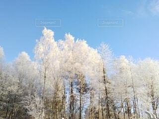 青空を背景に樹氷が映えるの写真・画像素材[4035744]