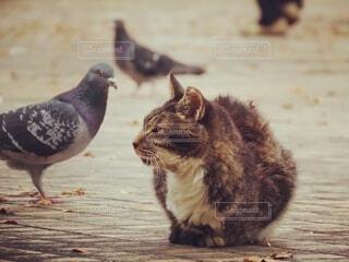 動物,鳥,屋外,地面,鳩