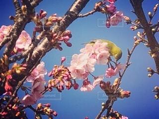 空,花,春,青い空,樹木,たくさん,カラー,草木,桜の花,さくら