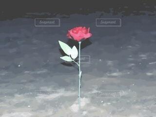 花,屋外,バラ