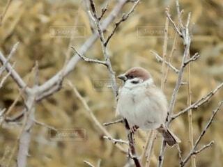 動物,鳥,屋外,樹木,スズメ