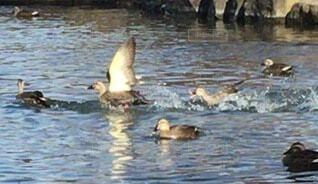 動物,屋外,池,泳ぐ,鴨
