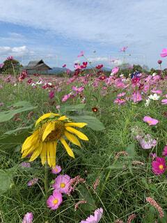 花,コスモス,草木,ヒマワリ