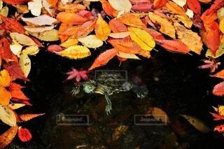 秋,動物,紅葉,かわいい,水面,葉,イチョウ,銀杏,可愛い,カメ,亀,落葉