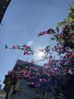 学生,風景,空,花,屋外,ピンク,太陽,植物,綺麗,背景,樹木,iphone,大学生,ブーゲンビリア,視点,壁紙,草木