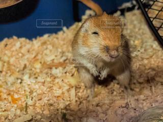 動物,小動物,ラット,マウス,ネズミ,カラージャービル