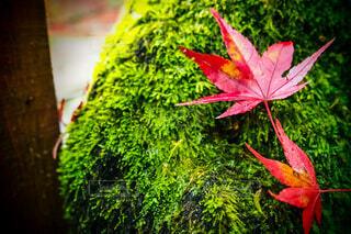 秋,葉,景色,草木,カエデ,カエデの葉