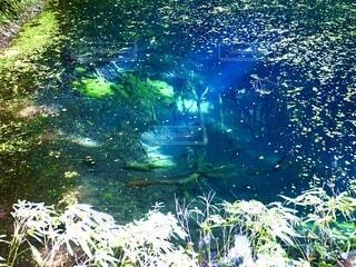 自然,絶景,日本の絶景,屋外,青,水面,葉,池,景色,青池,白神山地,十二湖,インスタ映え