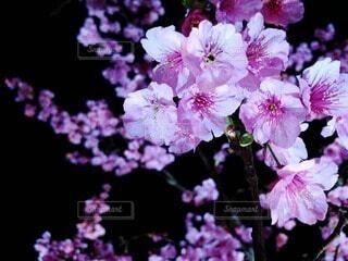 花,桜,夜,屋外,紫,夜桜,景色,草木,ブルーム,ブロッサム