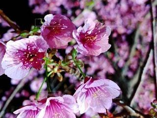 花,春,桜,夜,屋外,ピンク,夜桜,景色,ブルーム,ブロッサム