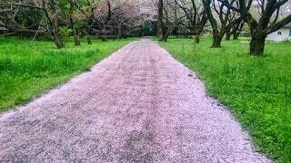自然,公園,花,春,桜,花見,地面,儚い