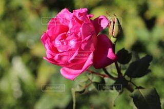 自然,花,ピンク,バラ,花びら,一輪の花,ローズ,草木