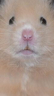 動物,ハムスター,目,マウス