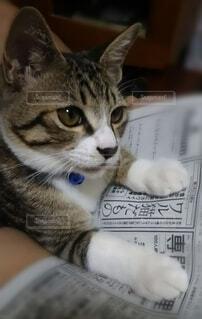猫,動物,屋内,かわいい,ペット,新聞,偶然,キジシロ,保護猫