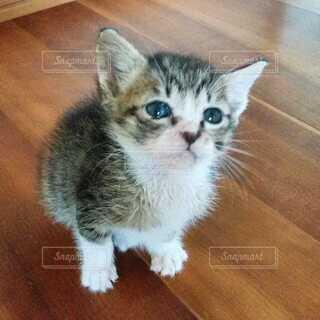 猫,動物,屋内,木,かわいい,床,子猫,木目,ネコ科,キジシロ,保護猫
