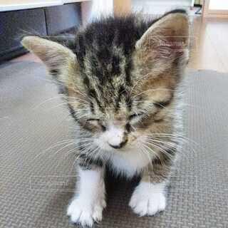 猫,動物,屋内,かわいい,床,子猫,ネコ科,キジシロ,保護猫