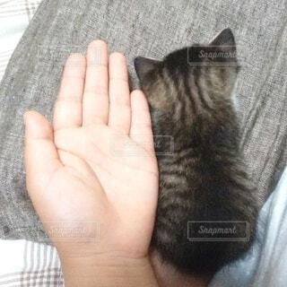手のひらサイズの子猫の写真・画像素材[4062964]