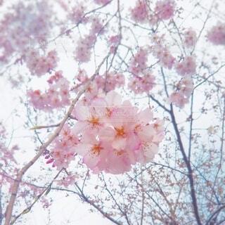 自然,風景,花,春,屋外,樹木,桜の花,さくら