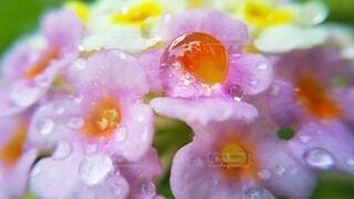 自然,花,ピンク,光,みずみずしい,しずく,草木,うるおい,マクロレンズ,ぷるぷる