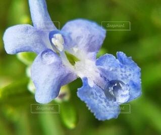 ローズマリーの花と雫をマクロレンズで撮りましたの写真・画像素材[4071023]