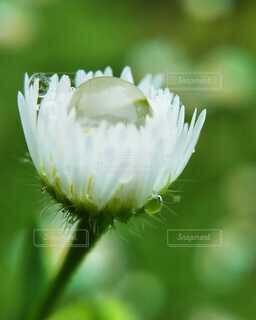 風景,雨,屋外,植物,光,ぼかし,草,白い花,雨つぶ,雨上がり,雫,しずく,ドロップ,接写,野の花,マクロレンズ