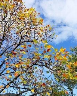 自然,空,秋,屋外,植物,カラフル,雲,葉,樹木,カラー,秋色