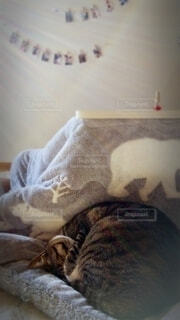 朝の光が差し込む部屋のこたつ布団の上で寝ている猫の写真・画像素材[4077390]